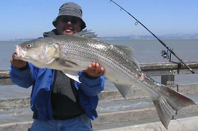 Striped Bass Mel McNearPier