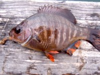 Blackperch1_Cabrillo_Pier_2007_2