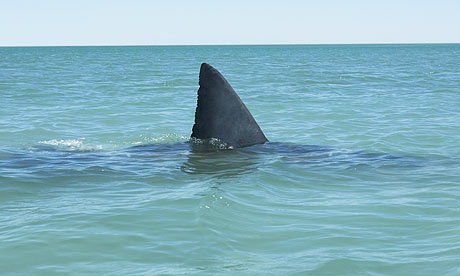 Fin-of-great-white-shark-001