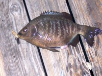 LB_Finger_Pier_Blackperch3