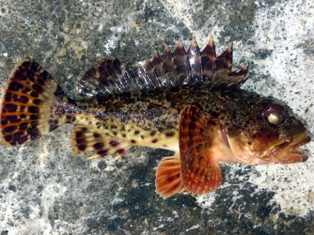 California Scorpionfish: When a sculpin is not a sculpin?