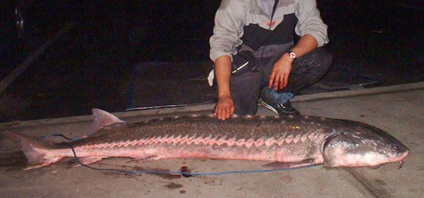 White sturgeon america s largest freshwater fish for Freshwater fishing in southern california