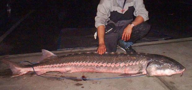 White sturgeon america s largest freshwater fish for California freshwater fish
