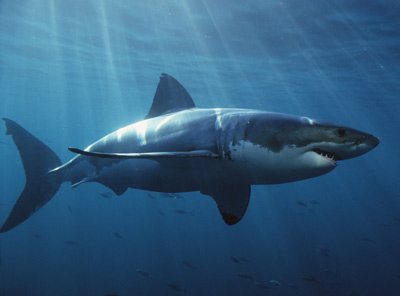 Great_white_shark_01