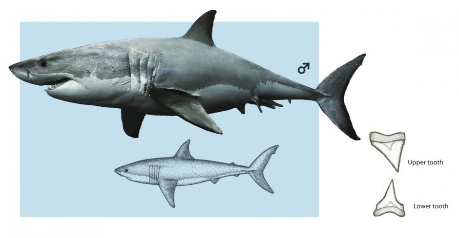 sharks-p36