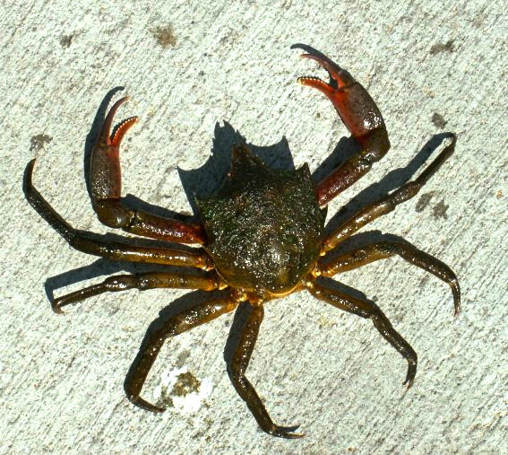Kelp.Crab_Balboa_Daniel_3.6.05