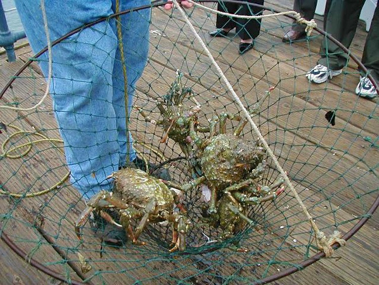 Spider_crabs_Fort_Baker_2003