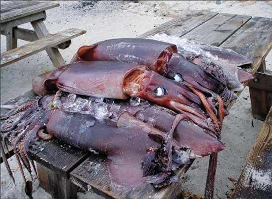 Humboldt_squid_Stillwater_Cove_Pier