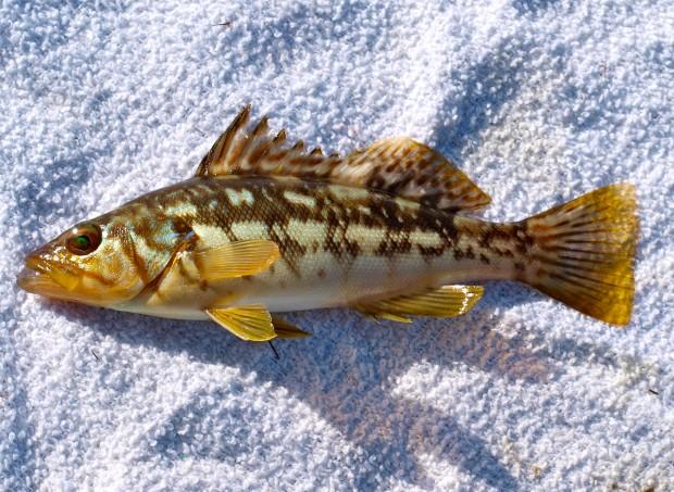 California s socal bass 1 kelp bass aka calico bass for Calico bass fishing