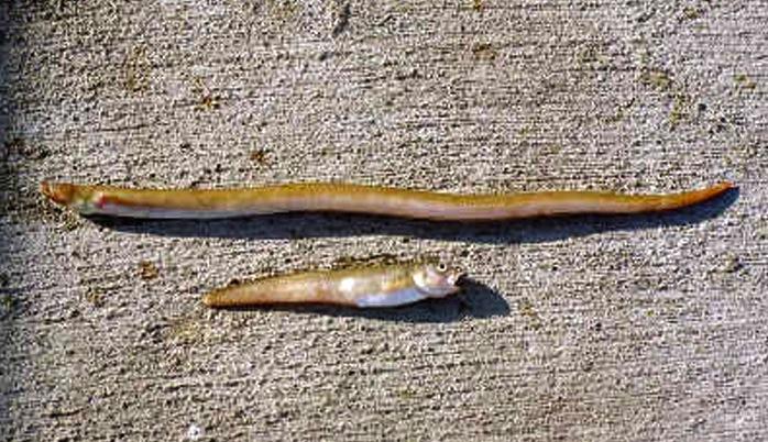 Newport_Eels_Snake_Cusk_2003_2