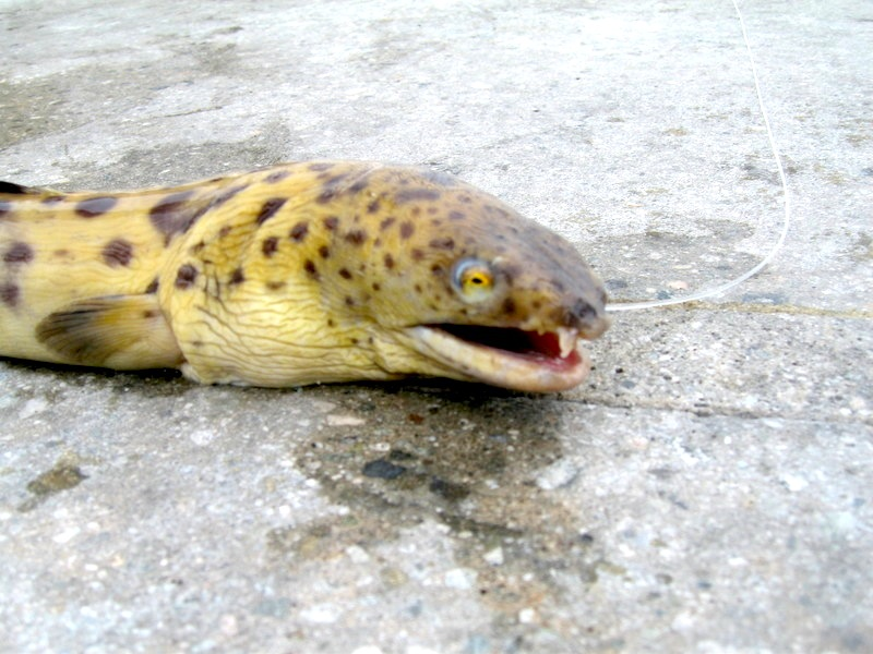 Spotted_Snake_Eel_Hermosa_(head)2_4-28-07