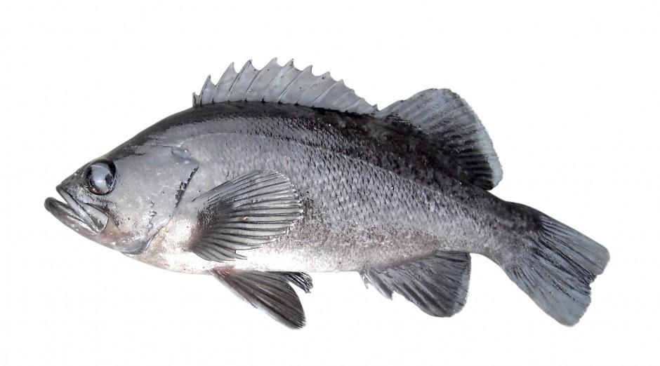 Black.Rockfish_Trinidad_2008_8