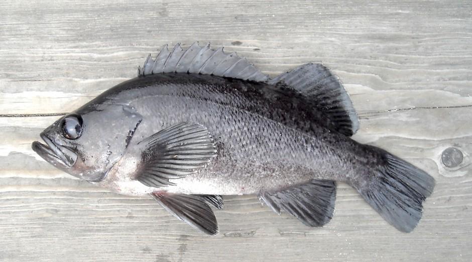 Black.Rockfish_Trinidad_2008_8.3_2