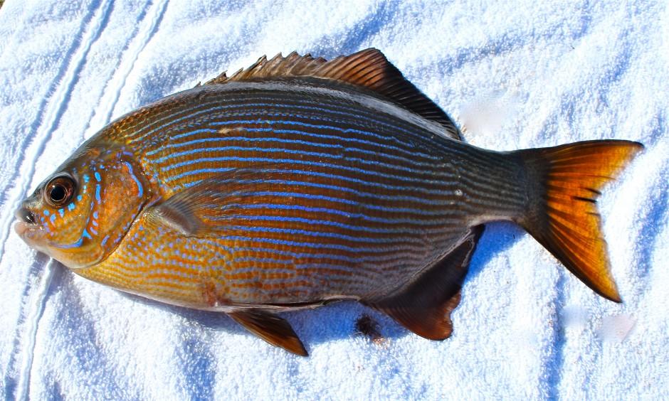 Striped seaperch for Ocean fishing oregon