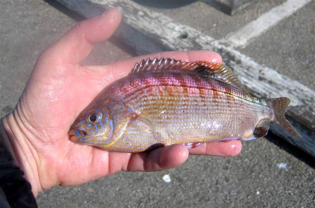 Rainbow.Perch_SCW_2007