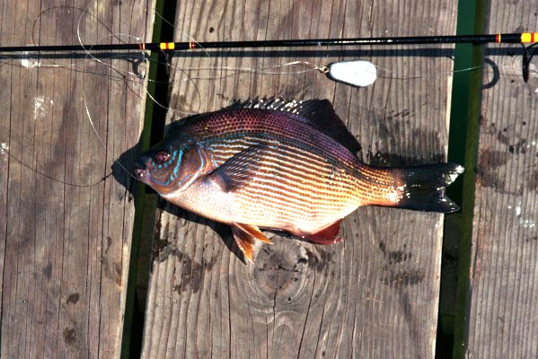 Striped.Perch_Trinidad_2004