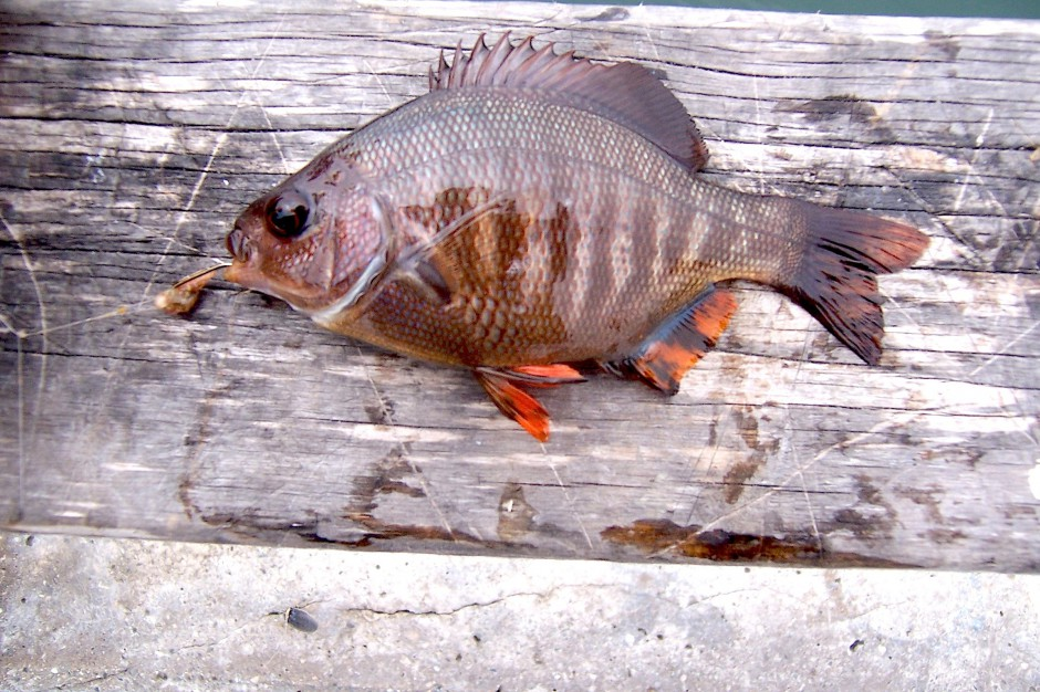 Blackperch_Cabrillo_2007_1