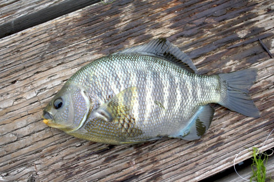 Blackperch_MBNT_2010