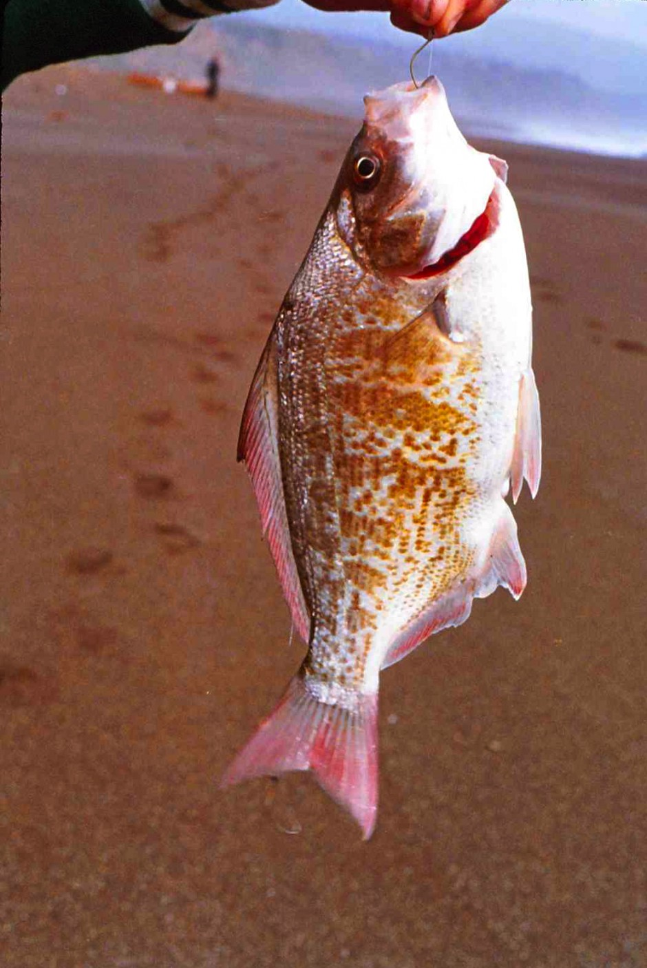 Redtail_Surfperch_1