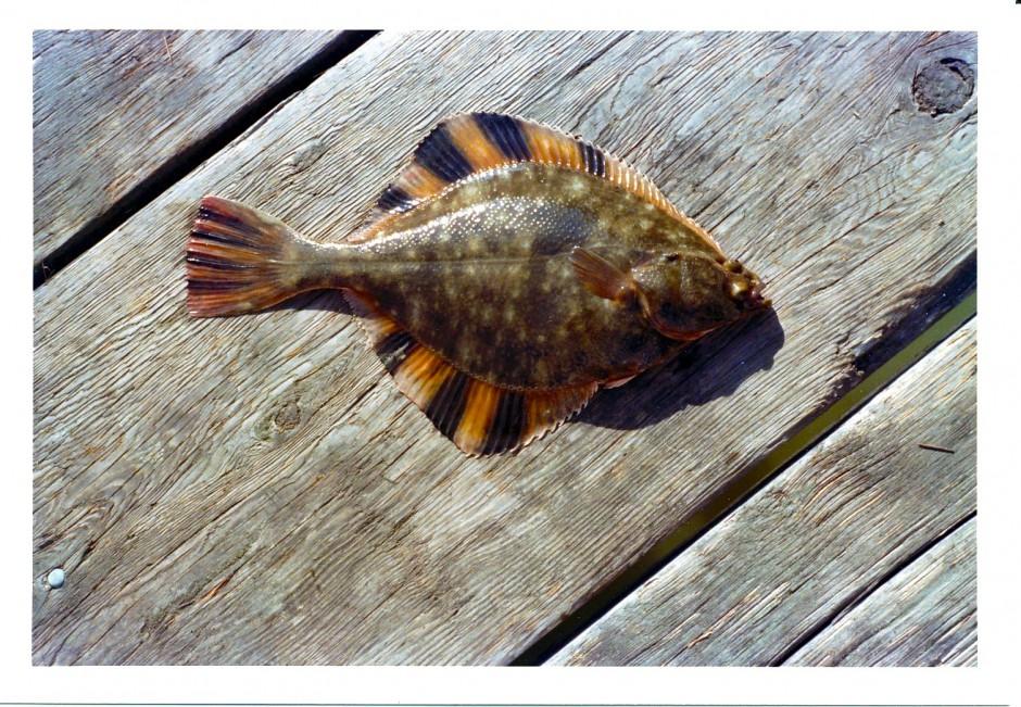 Flounder_Josephs_Pier_1975_3a