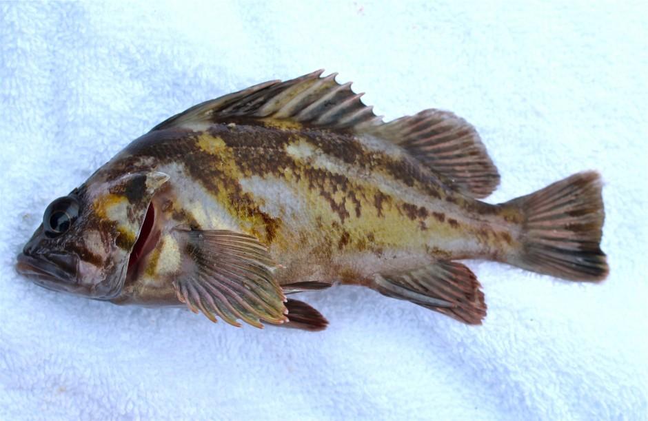Copper.Rockfish.2.4_2016.9_Citizens.Dock