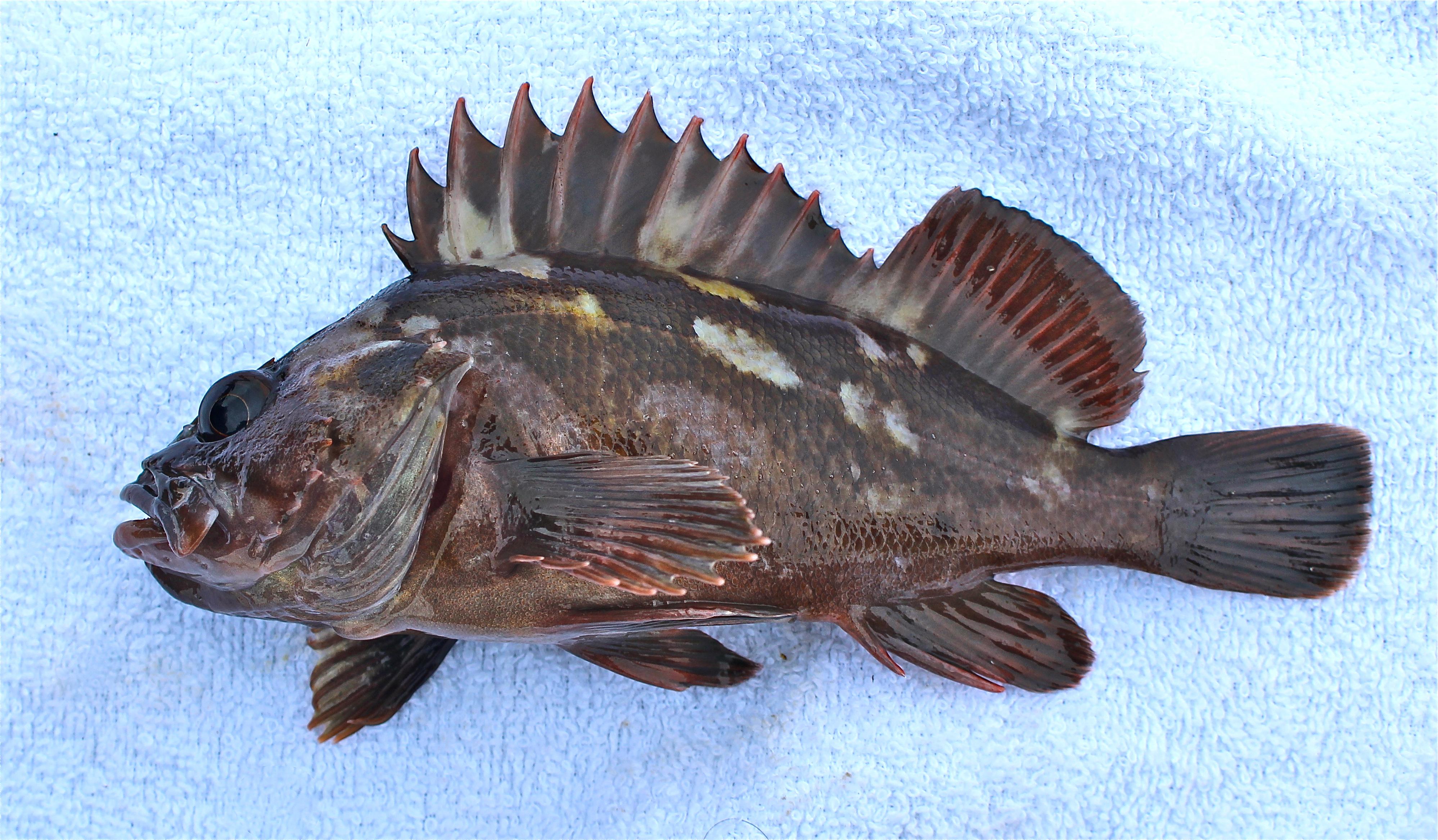 Copper Rockfish Cd 2016 9
