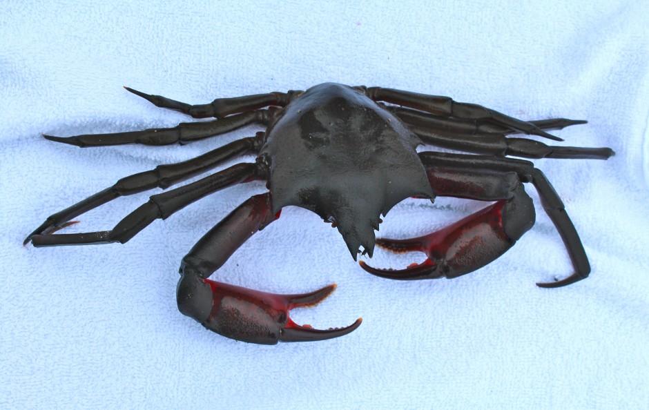 Kelp.Crab.Top_2016.9_Citizens.Dock.