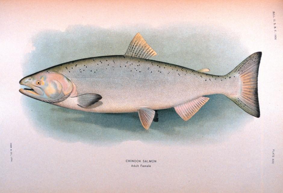 King_Salmon_Female_NOAA