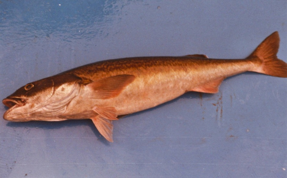 Sablefish_Santa.Cruz_75.1