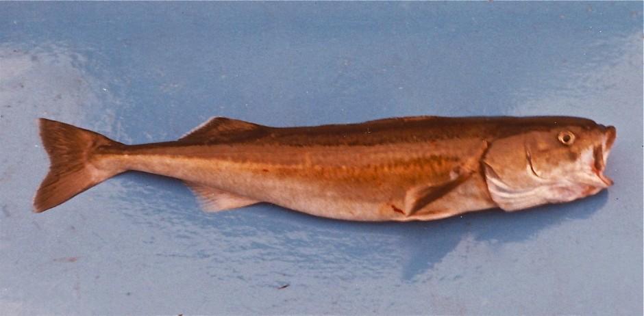Sablefish_Santa.Cruz_75.2