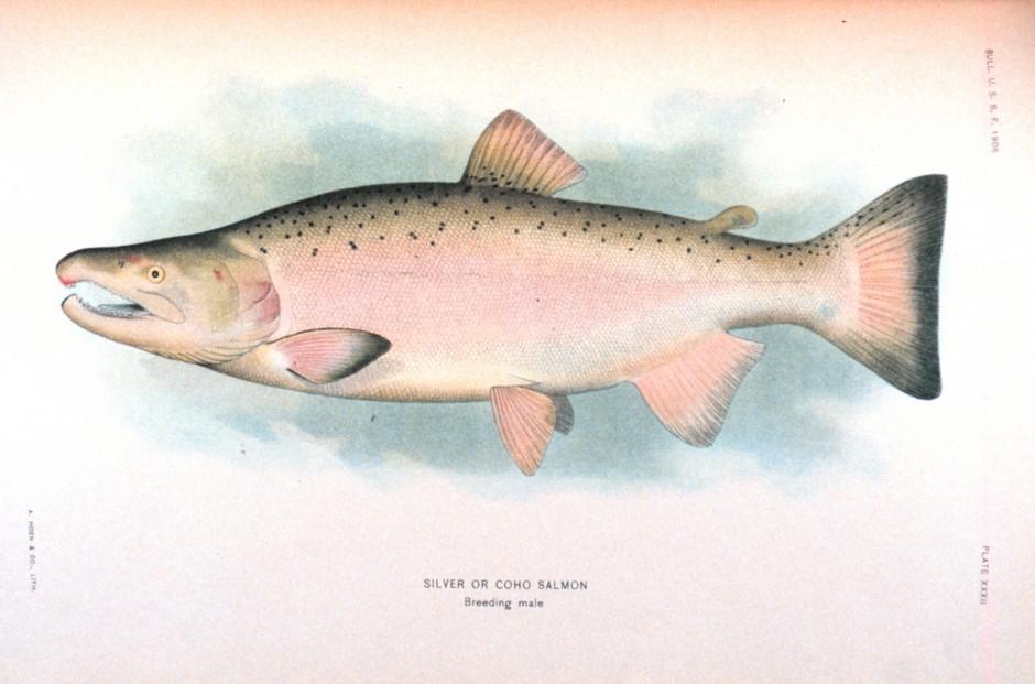 Silver_Salmon_Breeding_NOAA