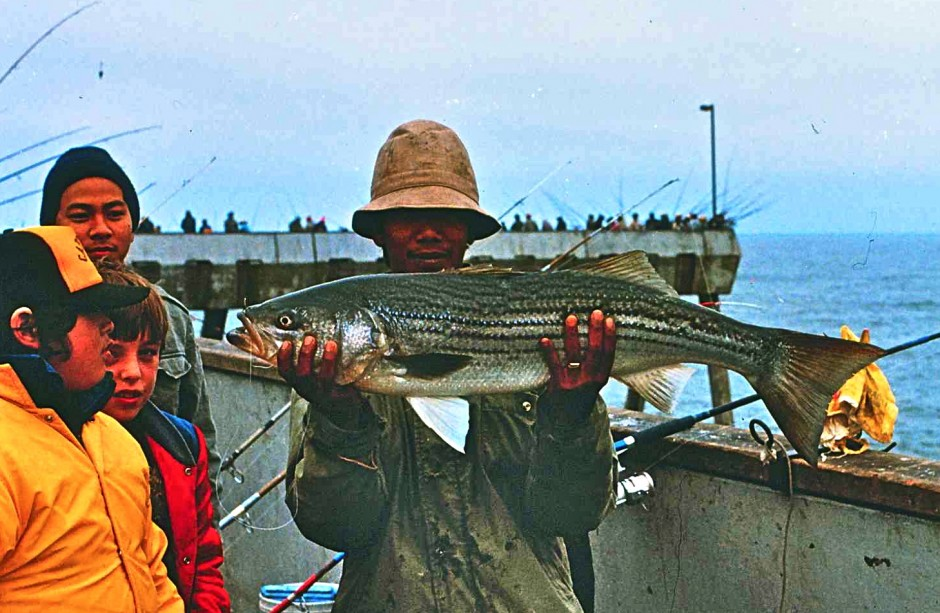 Striped.Bass_Pacifica_1970s