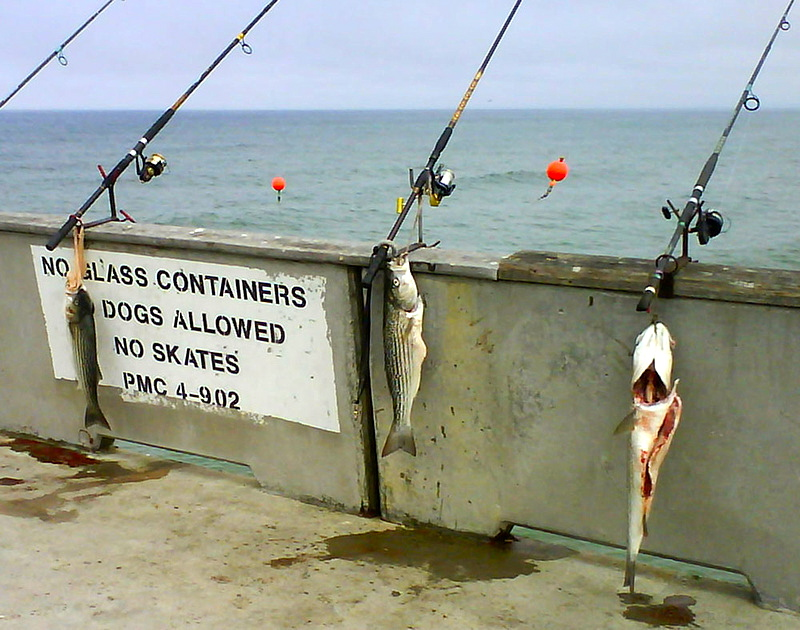 Striped.Bass_Pacifica_2009_3.7_2