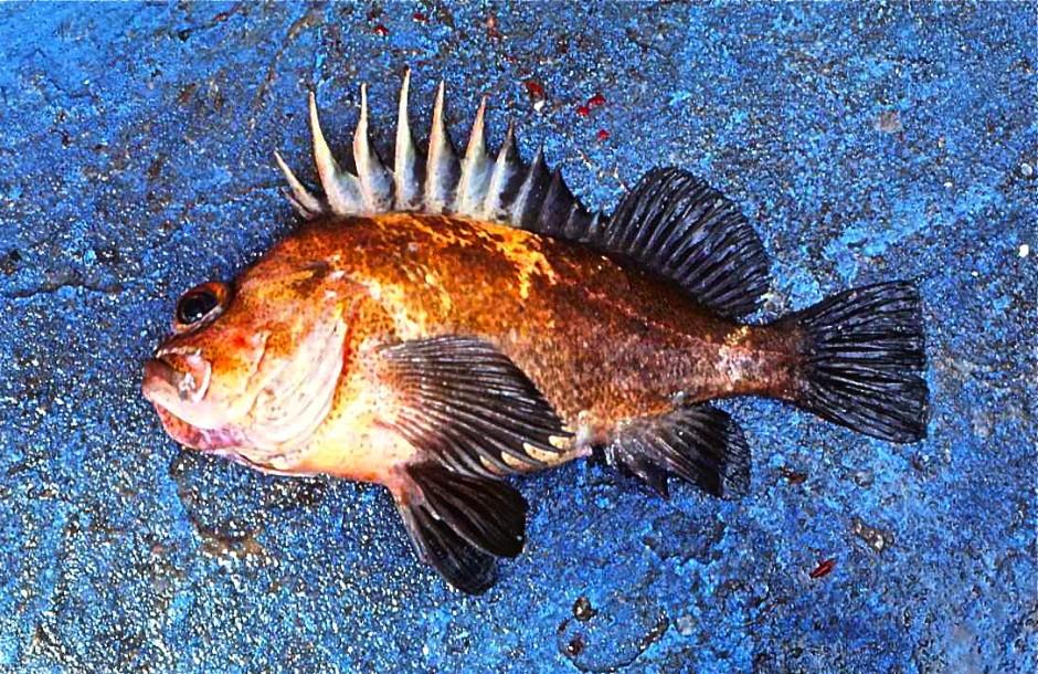 China.Rockfish