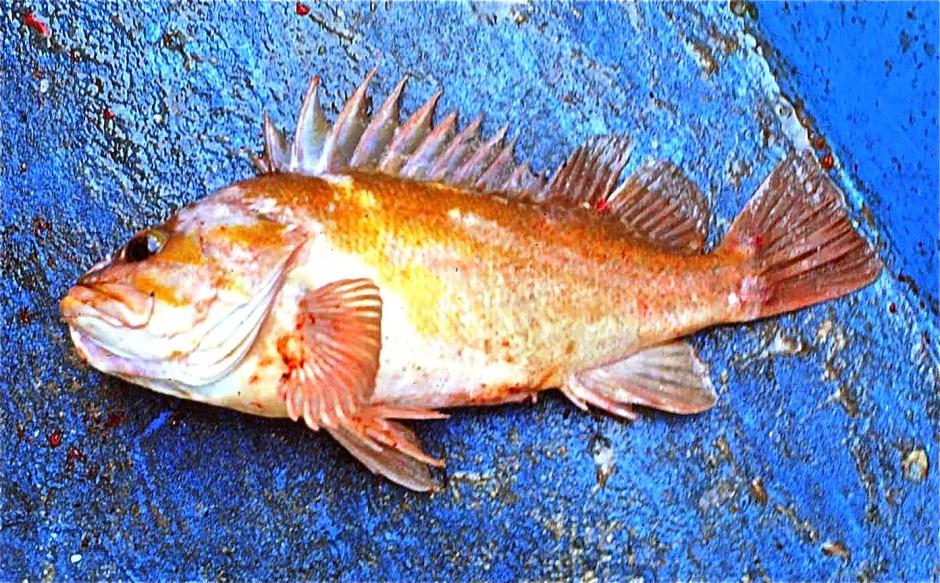 Copper.Rockfish_Monterey