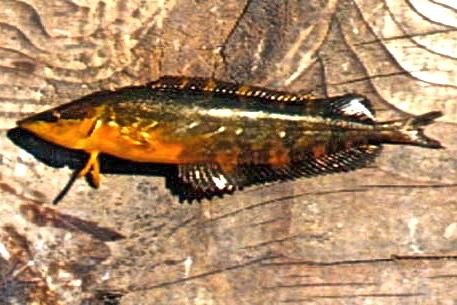 Giant.Kelpfish_Paradise.Cove.P_2004  2