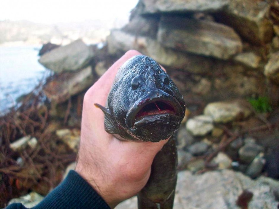 Monkeyface.eel_Pacific.rocks
