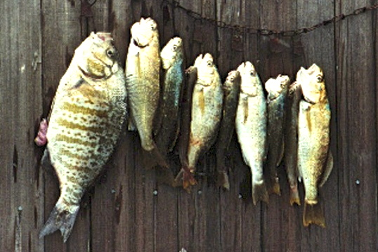 Perch_croaker_Goleta_1990s