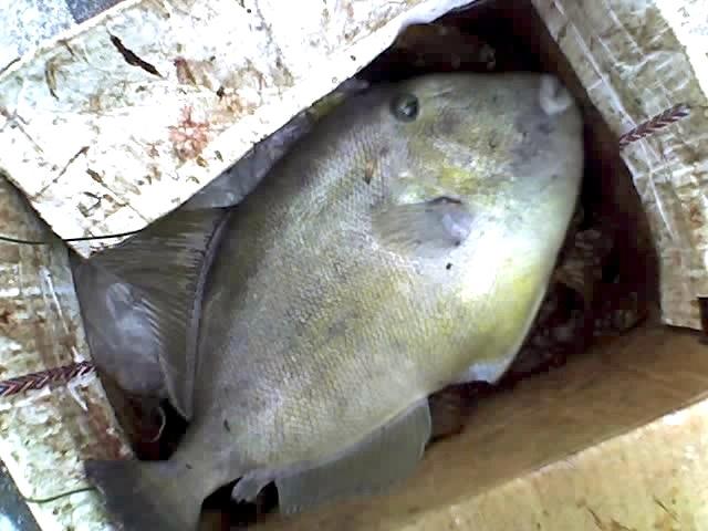 Triggerfish_Redondo_2007_6.13