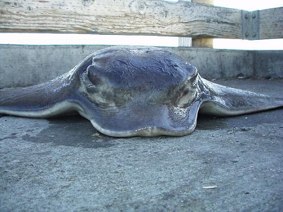 Bat.Ray_ThomasTran_Dumbarton_Pier_2004