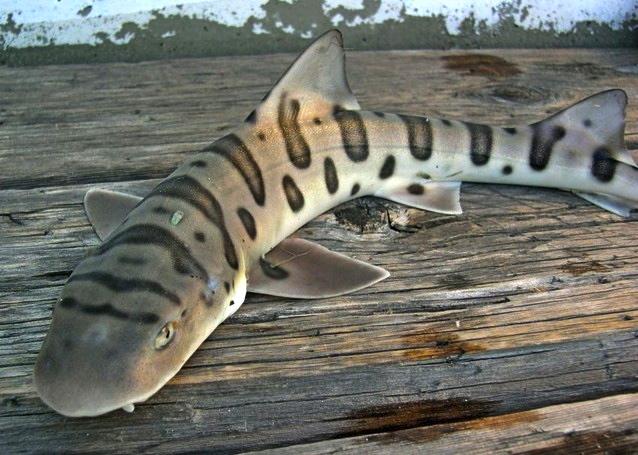 Leopard_Shark2_Dumbarton_Pier_2004