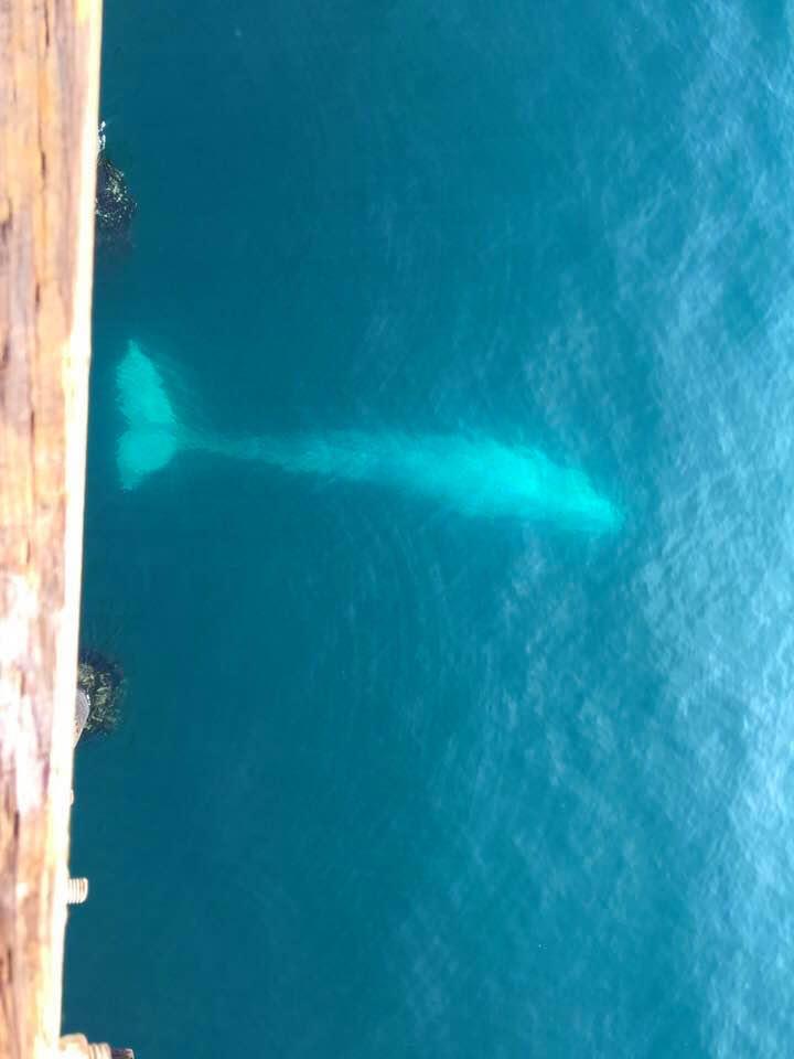 Oceanside.Pier_2018_.1_Whale