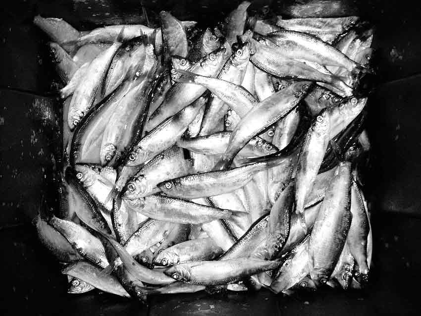 Herring_2012_underratedfisherman.1