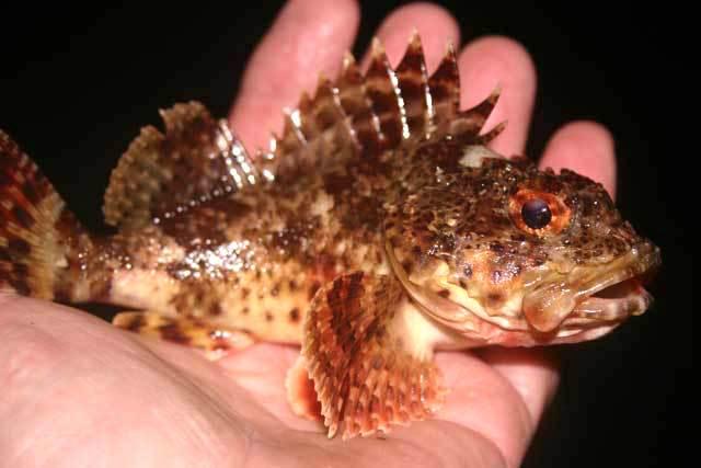 Scorpionfish_SMP_2008_5.12_2