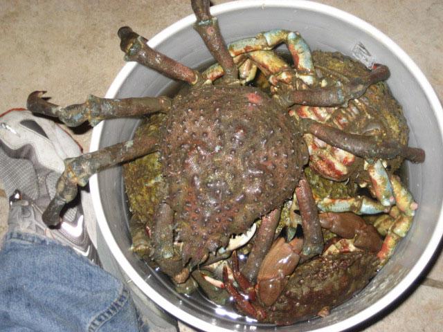Spider.Crab_Hueneme_2007