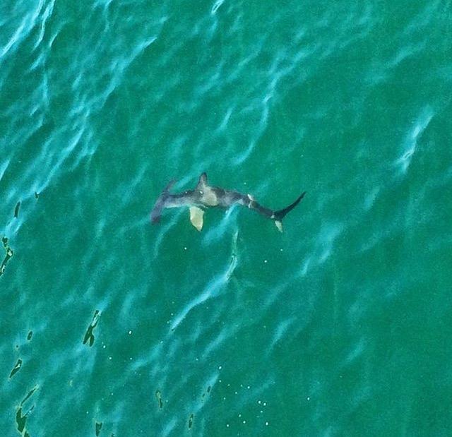 Hammerhead.Shark_HBPier_Cody_2015.10