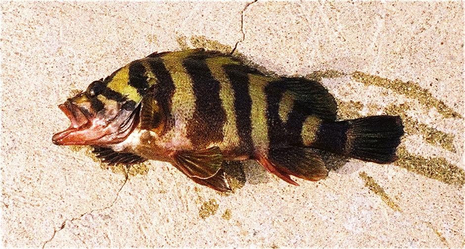 Cat_2005_Mole_Treefish